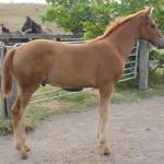 De Vito MH - equal top drssage foal