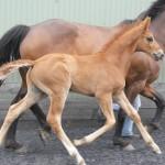 Northland Foal Show – Matthews Hanoverians