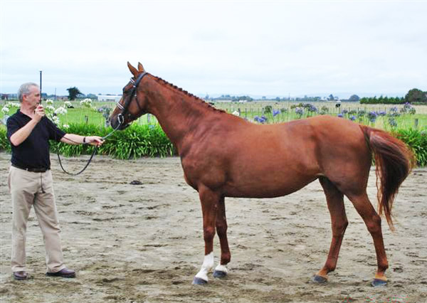 Hanoverian mare Vollrath Wicked (Worldwide PB/Genius).