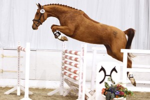 Hanoverian Breeding is Jumping into the Future
