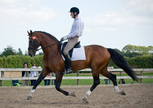 Prestige VDL goes through his paces for stallion licensing.